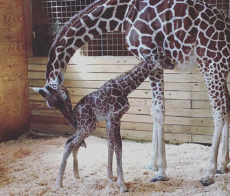 April the giraffe and her baby boy