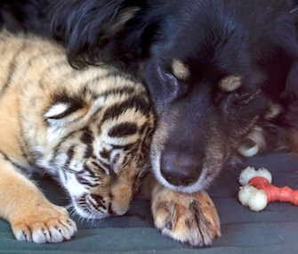 Nursery dog Blakely is helping to socialize three rare tiger cubs at the Cincinnati Zoo.