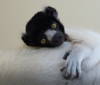 Yousstwo, a Crowned Sifaka, was born in December at the Cotswold Wildlife Park.