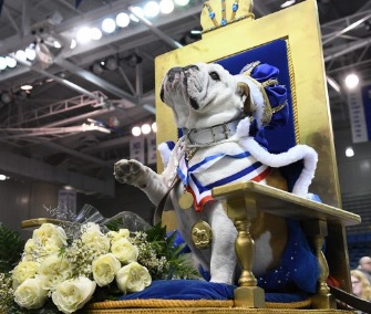 Prudence, 2, ganó el 38º Concurso Anual de Beautiful Bulldog en la Drake University.