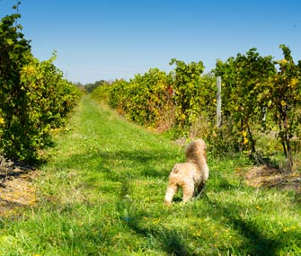 Dog Exploring Vineyard