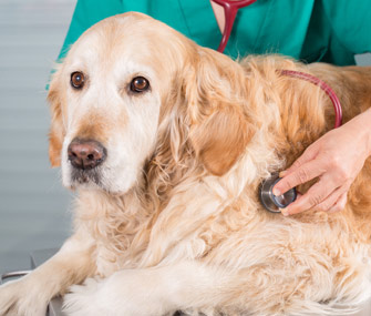 Golden Retriever getting examined by veterinarian