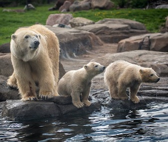 Aurora and her twin cubs will make their debut at the zoo on Thursday.