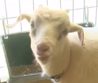 Speedy the goat saved his family from a fire just two days after they got him.