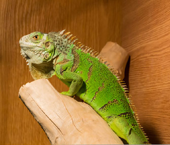 Red iguana lizard diet