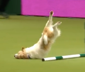 Ouch! Olly's face-plant at Crufts may look painful, but it didn't slow him down at all.