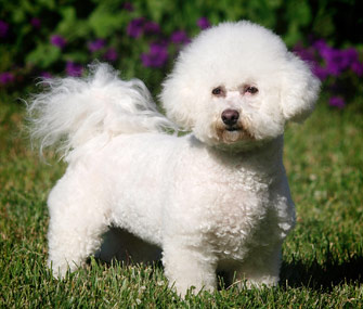 5 reasons a bichon frise might be the right dog breed for you