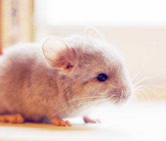 top 10 things to know about chinchillas