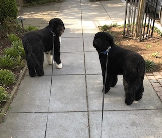 Former first dogs Bo and Sunny Obama stepped out of their new D.C. home for a spring walk on Monday.