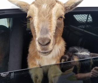 One of the pygmy goats picked up by police in Maine peeks his head out of the patrol care window.