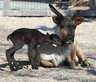 Reindeer fawn born at Brookfield Zoo