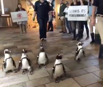 Los pingüinos africanos en el Monterey Bay Aquarium se unieron en el March for Science el sábado.
