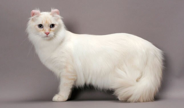 American Curl all white cat
