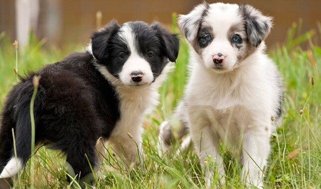 Border Collie Puppies.