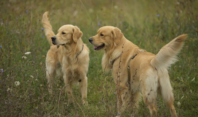 Two Golden Retrievers Standing in Field