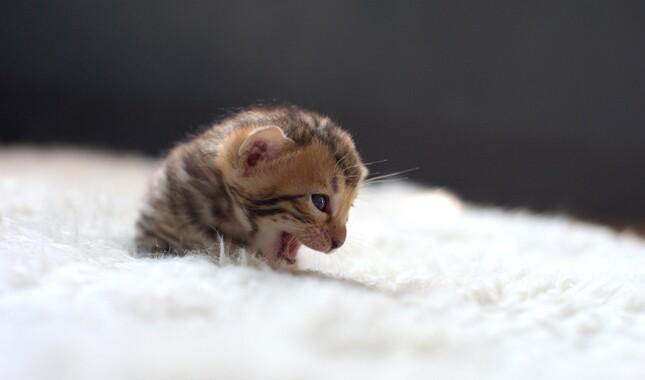 Newborn Bengal Kitten