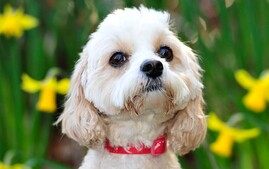 Cavapoo designer dog breed