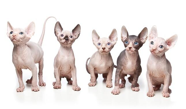 Five Sphynx Kittens