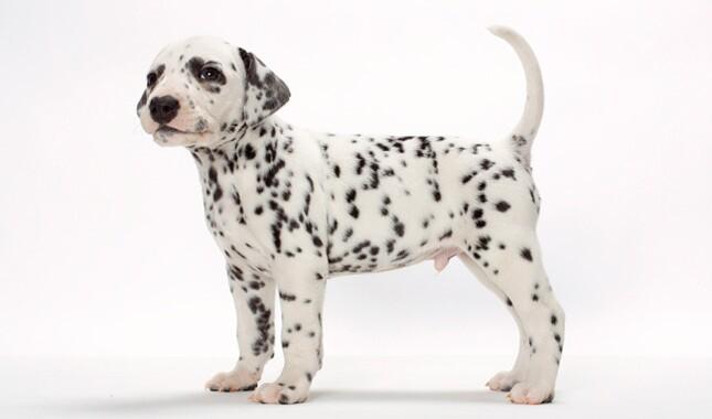 Dalmatian Breed Information