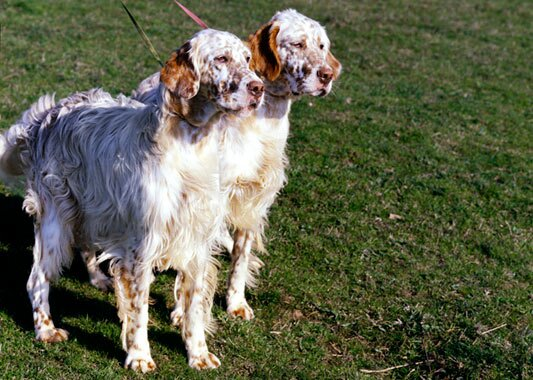 English Setter dogs