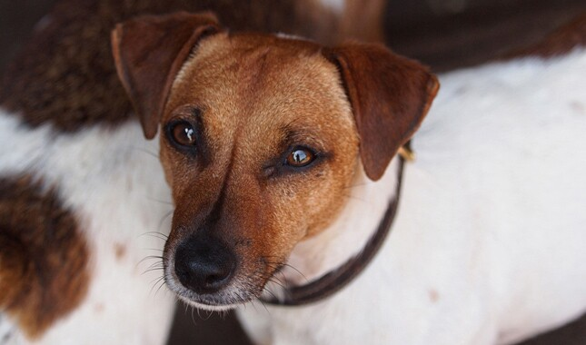 Jack Russell Terrier Face Closeup