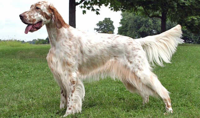 English Setter Breed Information