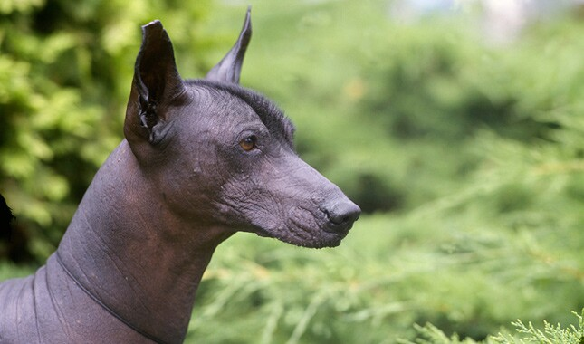 Xoloitzcuintli Dog Breed