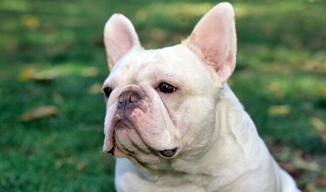 French-Bulldog-1-645mk062111.jpg