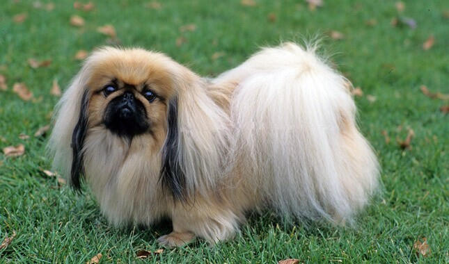 Top 10 Cheapest Dog Breeds: Pekingese