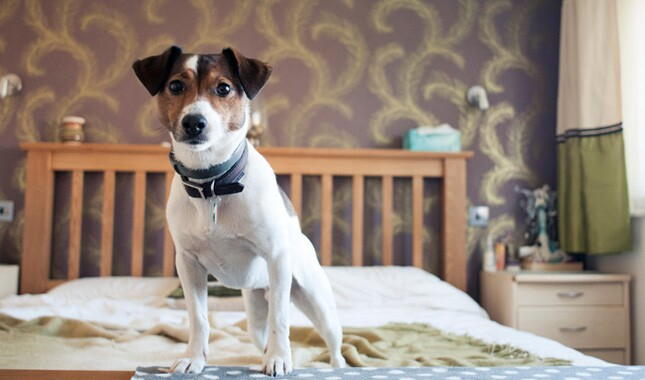 Jack Russell Terrier on Bed