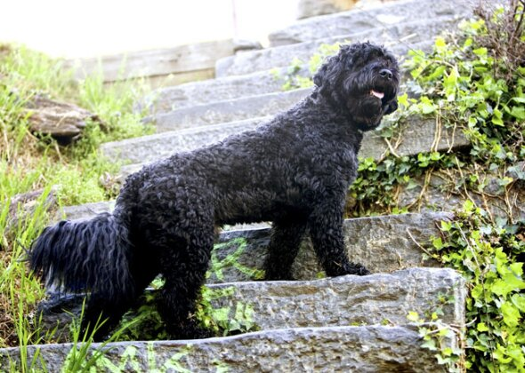 He S A Portuguese Water Dog Buddy