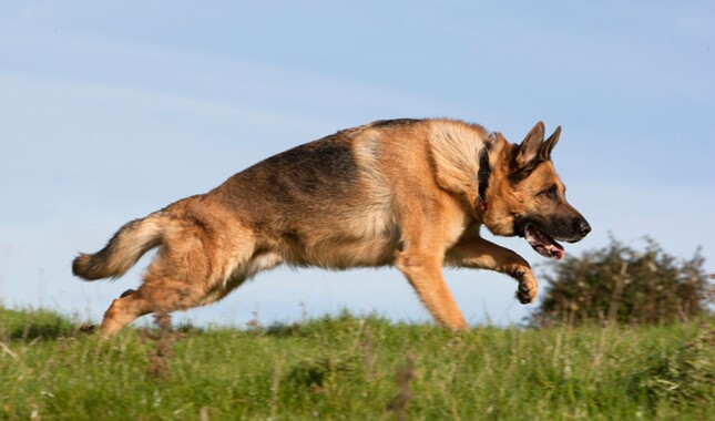 German Shepherd Leaping