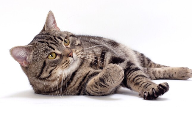 Tabby Manx Cat
