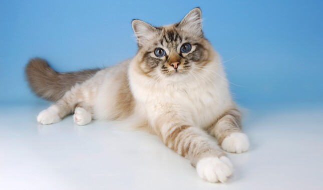 Birman Cat on Blue Background