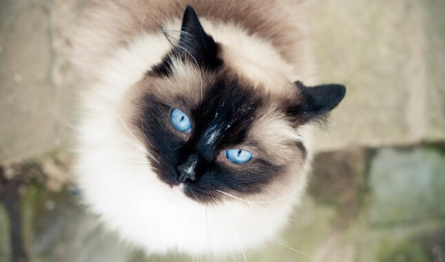 Ragdoll With Blue Eyes