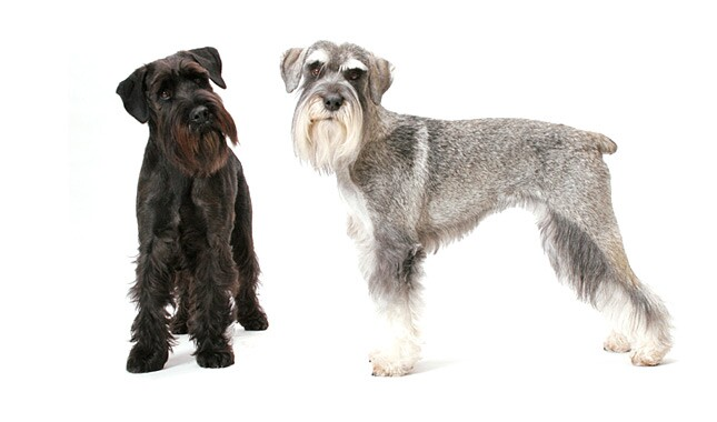 Two Standard Schnauzer Dogs
