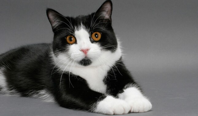 Black and white manx