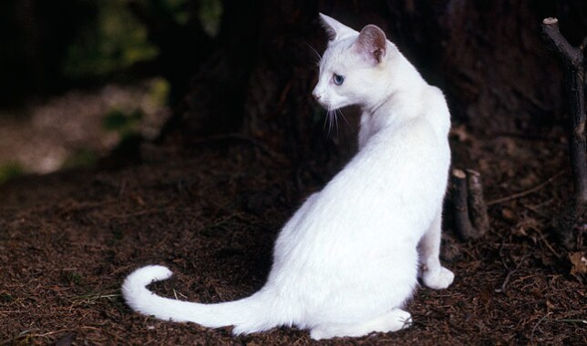 Oriental Cat Breed Information