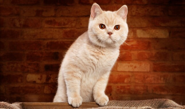 Cream Colored British Shorthair