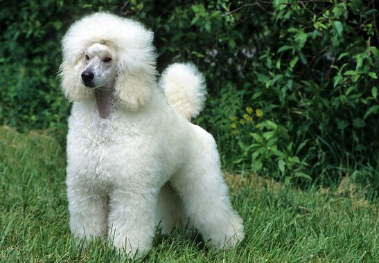 Poodle - Miniature Dog Breed