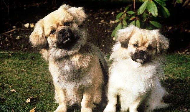 Two Tibetan Spaniel Dogs