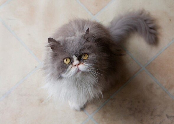 12 Long-Haired Cat Breeds We Love