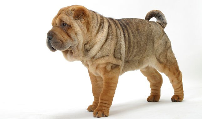 Chinese Shar-Pei Dog Breed