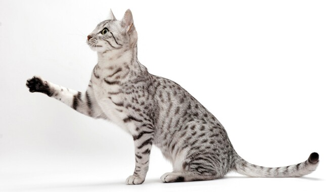 Egyptian Mau With Paw Up
