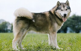 Side view of Alaskan Malamute dog breed