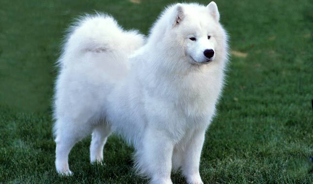 Samoyed Dog Breed