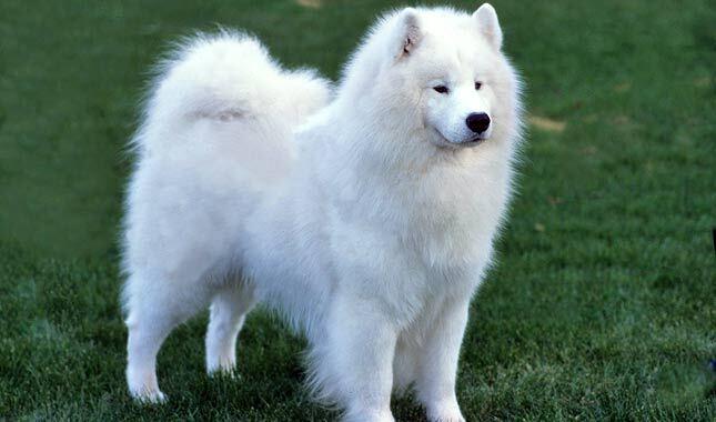 Big White Fluffy Dog Names