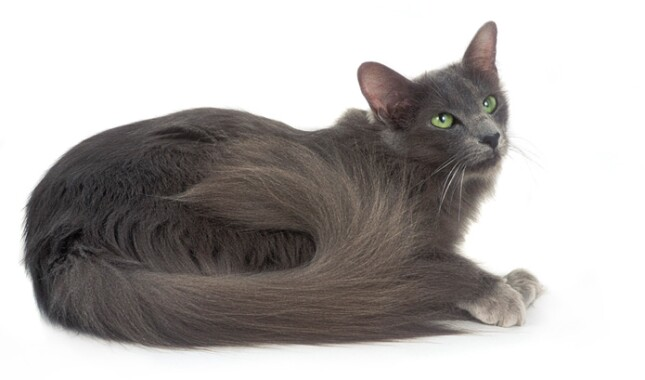 Blue Javanese Cat