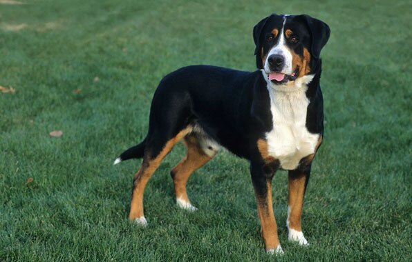 Greater Swiss Mountain Dog Puppy Greater Swiss Mountain...