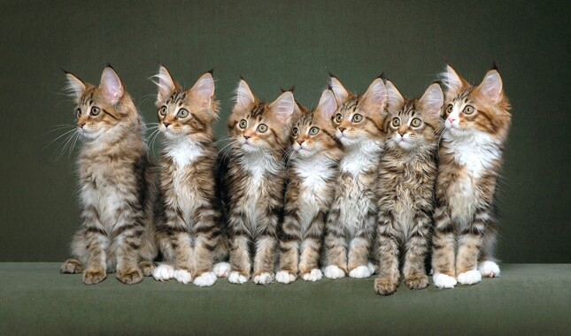 Maine Coon Kitten Litter